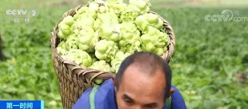"""重庆涪陵:一个保护价 两份保证金 榨菜成农户致富""""金疙瘩"""""""